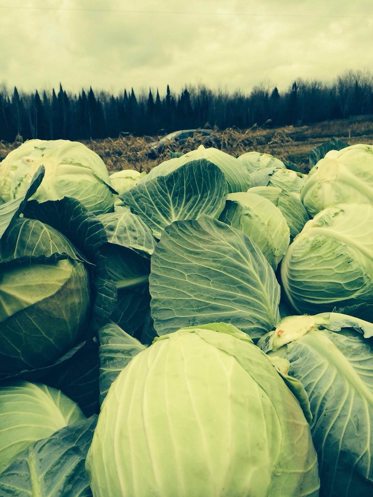 Farmer Dale's Cabbages