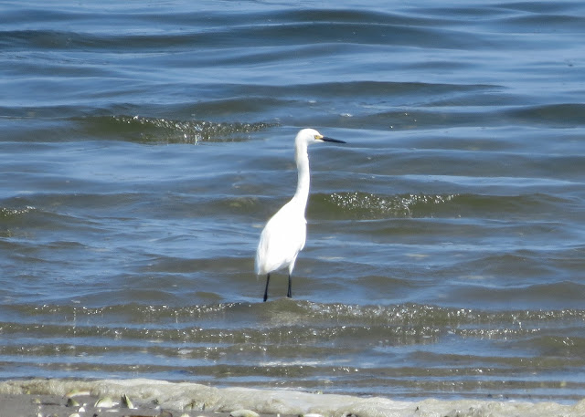 Snowy Egret - Jamaica Bay, New York