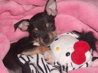 Dog with Hello Kitty plush soft toy