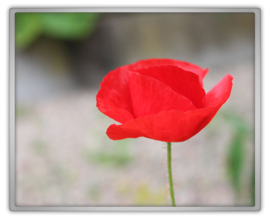 poppies poppy world cup update marjolein kucmer picture canon 700d