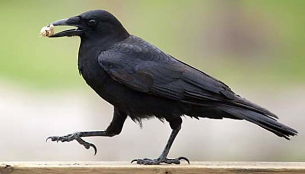 Mitos Burung Gagak Pembawa Sial