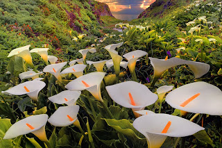 Manto de calas blancas entre montañas Fotos de flores silvestres