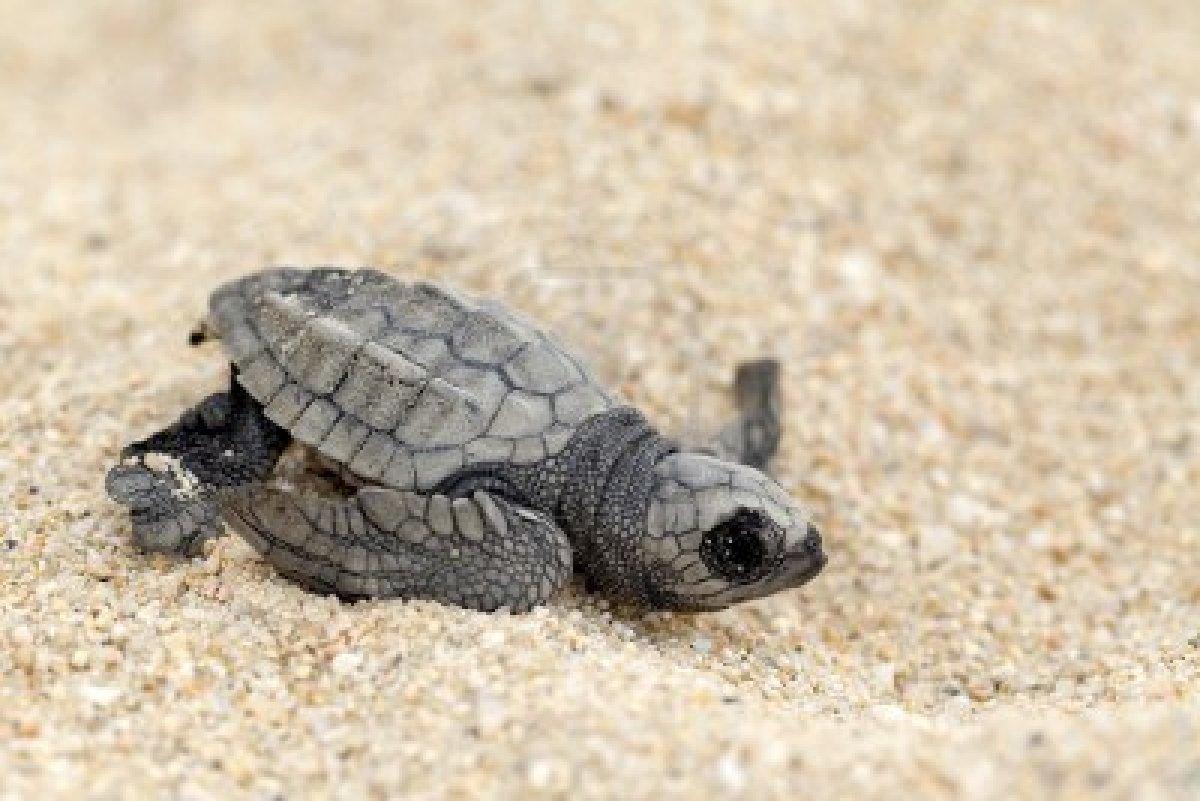 Área protegida (playa ceuta) 11995659-close-up-de-bebe-tortuga-golfina-lepidochelys-olivacea--tambien-conocida-como-la-tortuga-del-pacific