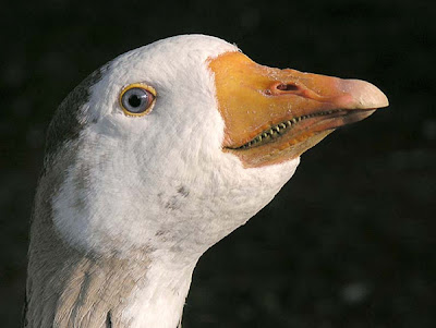 Goose Teeth