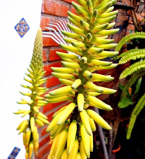 Flores de Sábila o Áloe Vera