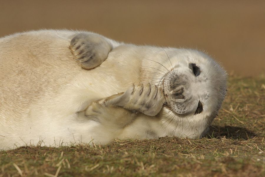 9. Atlantic Grey Seal pup by Neil Smith