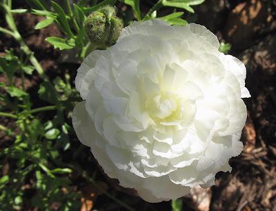 Annieinaustin, white ranunculus