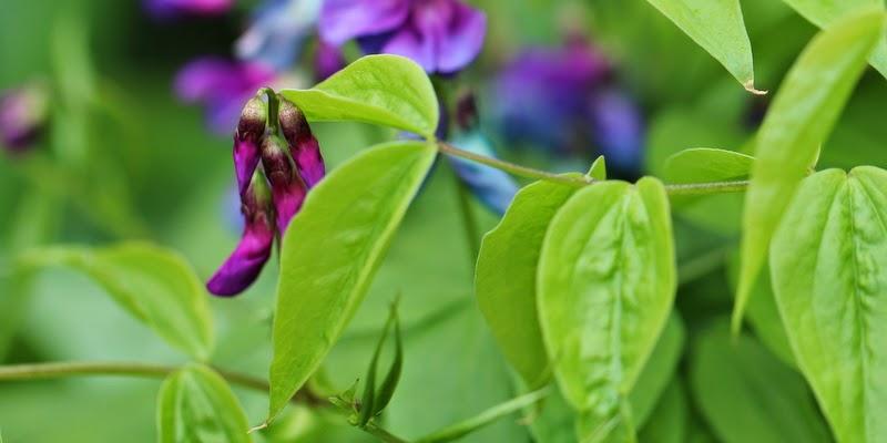 Vårfladbælg, lathyrus vernus