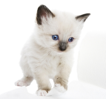 The gallery for --> Snowshoe Kitten