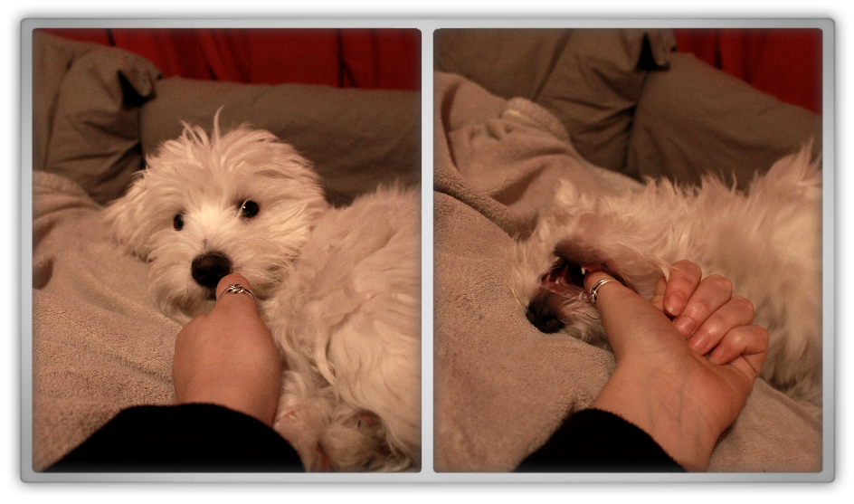 jofee saccone joly maltese dog puppy 21 weeks old 4 months cute adorable marjolein kucmer playing bed time thumb rolling