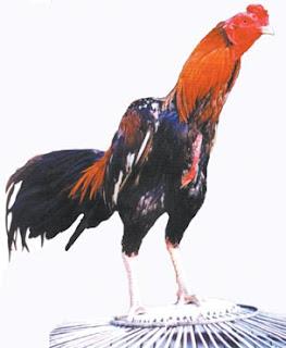 ayam aduan mengingat ayam bangkok tidak hanya dikenal memiliki
