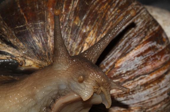 Snailzilla Giant African Snail Seen On www.coolpicturegallery.us