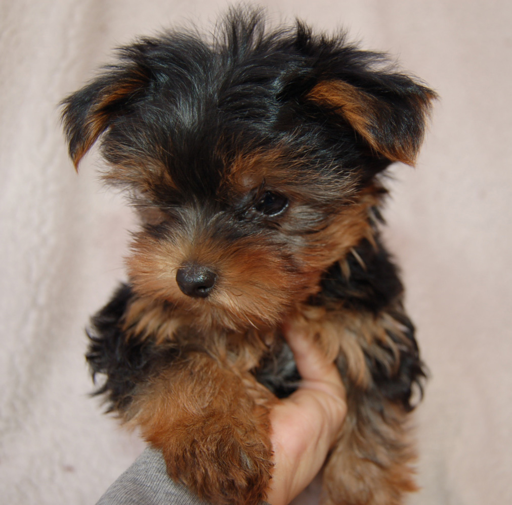 Go Back  gt  Images For  gt  Teacup Yorkie Full Grown SizeFull Grown Yorkie