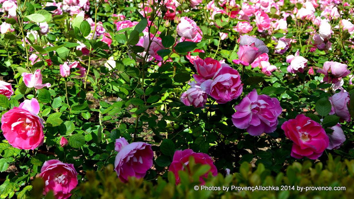 macro,parc,roses