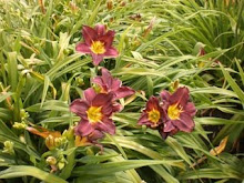 'Comic Strip' daylily