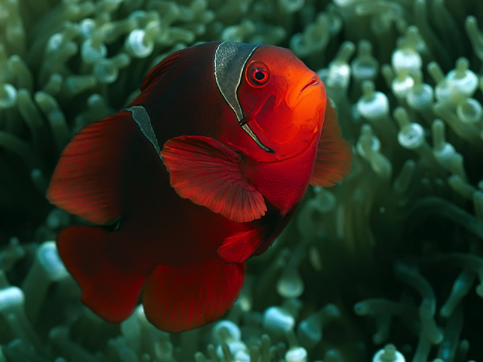 Clown fish wallpapers fun animals wiki videos pictures for Pictures of clown fish