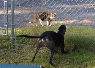 Bettina greyhound barks at kitty