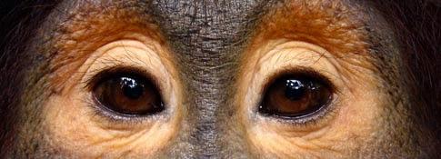 20 Orang Utan dilepaskan ke hutan lindungan Kalimantan Tengah.