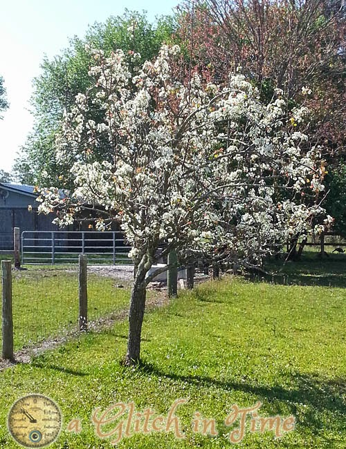Blooming Sand Pear Tree