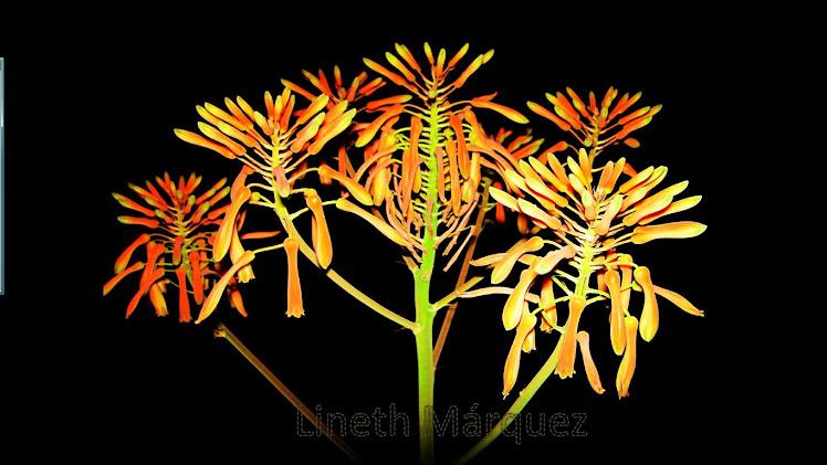 Flor del Aloe vera