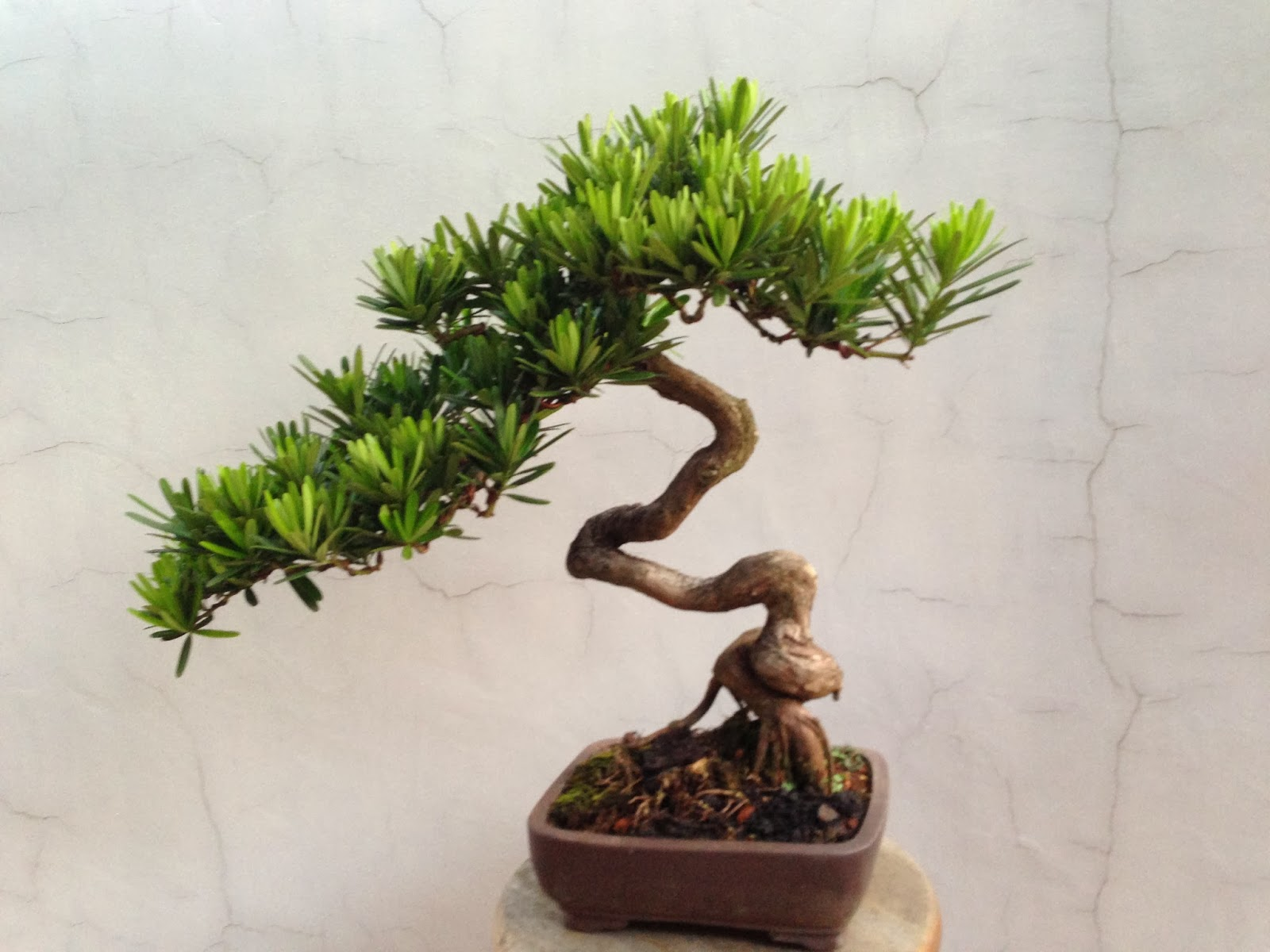 Singapore serendipity where to buy a bonsai tree in for Purchase trees