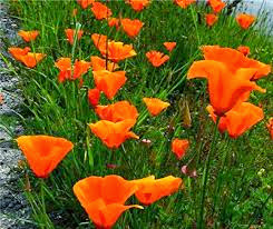 What happenned to all the poppies