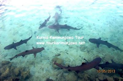 Kumpulan Ikan Hiu Jinak Di Karimun Jawa