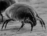 Házipor allergia: házipor atka