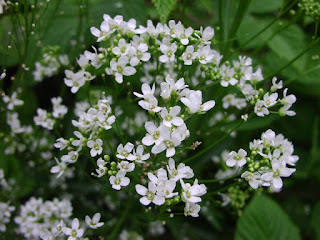 horseradish flower
