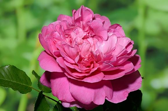 Princess Anne rose сорт розы фото