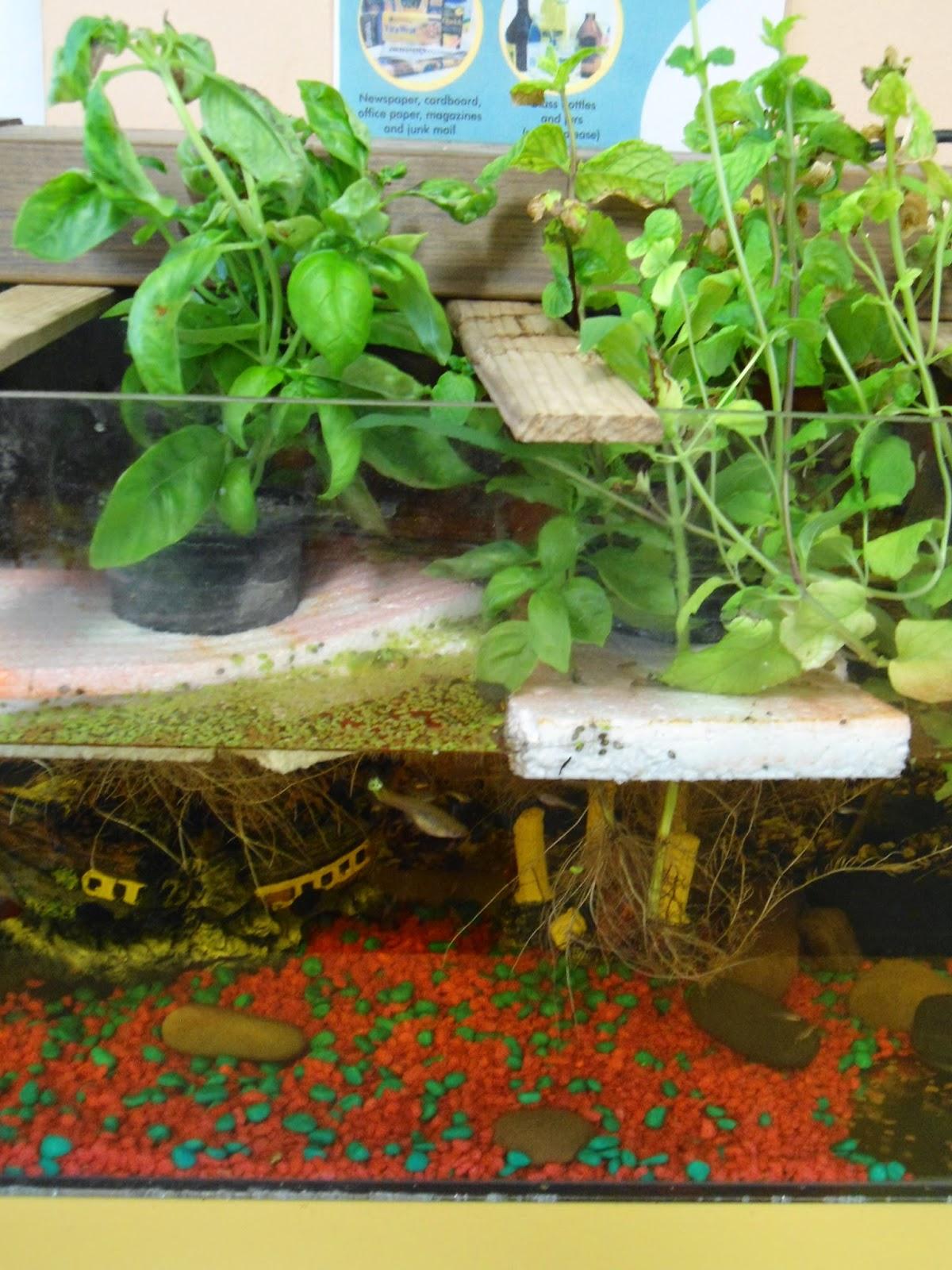 Classroom aquaponics