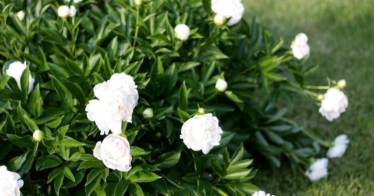 Kinds Of Roses Bushes