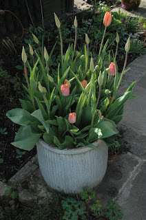 Peach tulips flowering in a ribbed, old, washtub.
