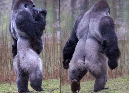 Ambam o gorila que anda em duas patas tal e qual um Homem