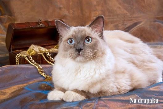Czy koty lubią wystawy kotów?