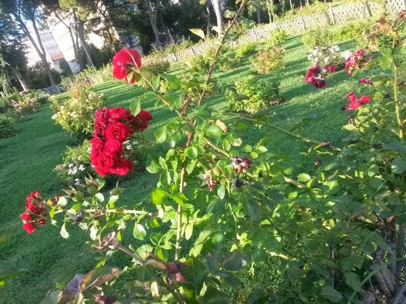 Roses in Cervantes Park