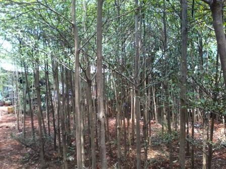jual pohon pelindung - ketapang kencana