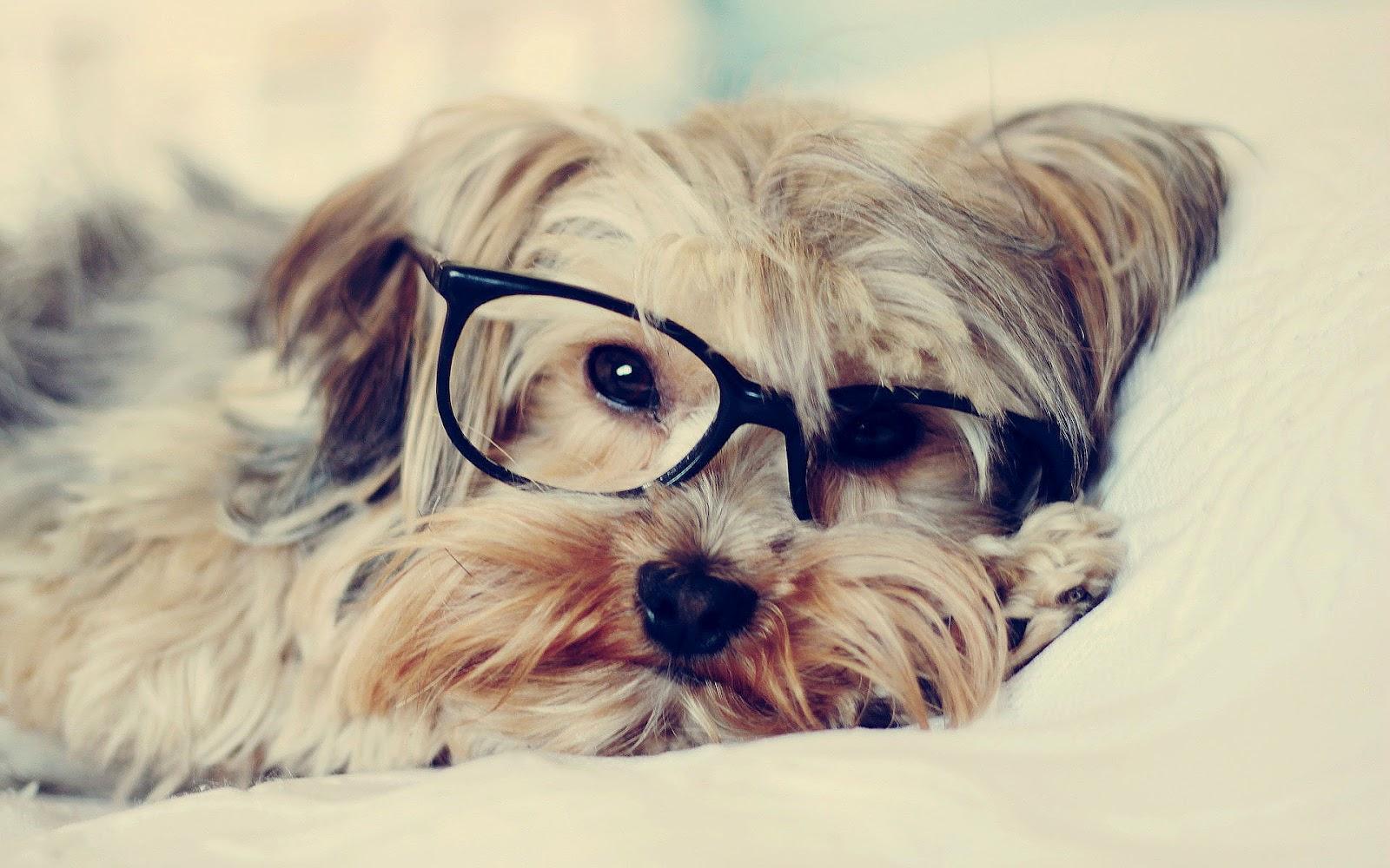 Met een hond met een bril op zijn kop | hd hond achtergrond foto