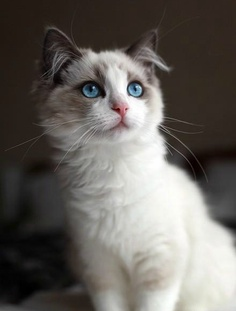 Most Popular Ragdoll Cat Names