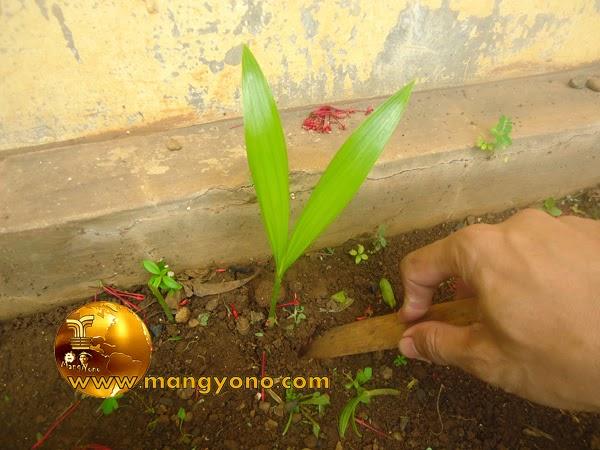FOTO: Pencungkilan / pencabutan benih palem dari persemaian.