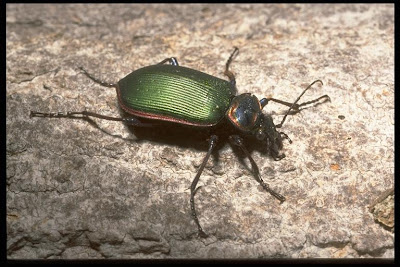 fiery searcher Calosoma scrutator