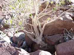 A Baja Tree