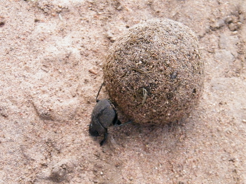 Real Monstrosities: Dung Beetle Q The Dung Beetle
