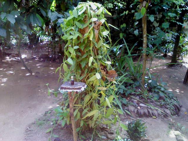 New Ranweli Spice Garden Sneak a Peek Vanilla
