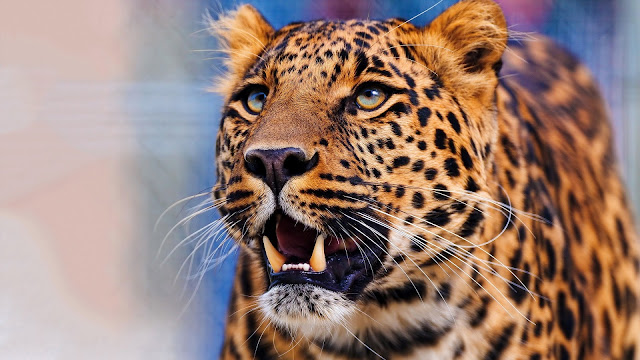 Leopard Face HD Wallpaper