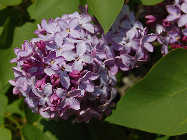 Nurture Photography - Lilac/Flowers