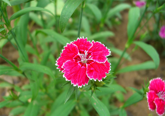 Dianthus Flowers Pictures