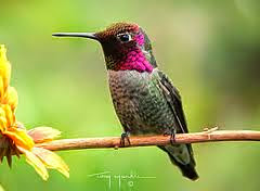 ARE YOU BEING ENTERTAINED BY ANNA'S HUMMINGBIRDS THIS WINTER?