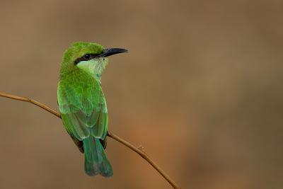 A Green Bee Eater (Merops orientalis) photographed in Yala, Sri Lanka