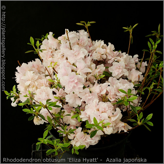 Rhododendron obtusum 'Eliza Hyatt' -  Azalia japońska  'Eliza Hyatt'